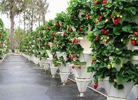 Coltivazione  fragole