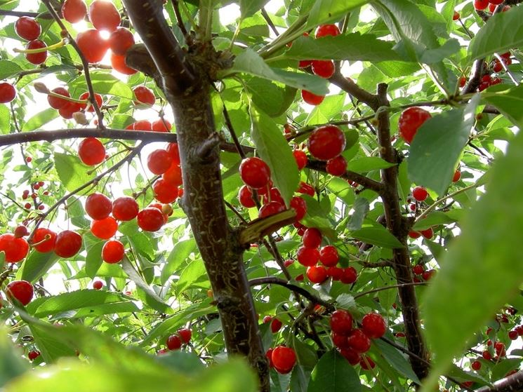 ciliegie mature