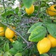 limoni concime