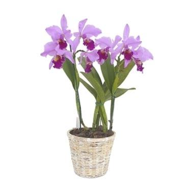 pianta di orchide