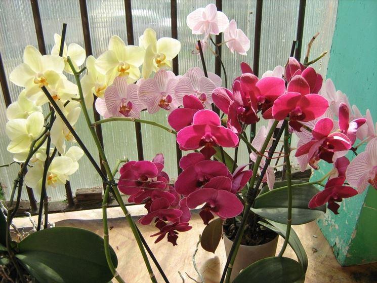 Piante di phalaenopsis in fiore
