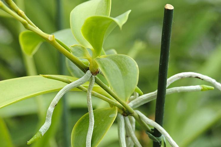 Foglie di orchidea in piena salute