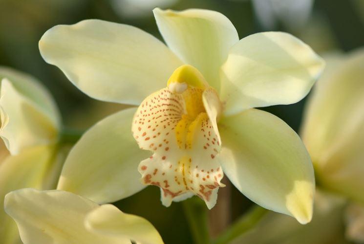 orchidea cimbidium