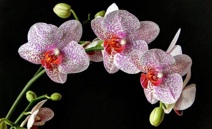 orchidee variegate