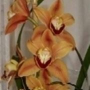 concimare orchidee