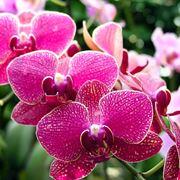 orchidea manutenzione