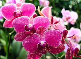 Orchidea cura