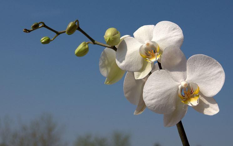 fiori di orchidee bianche