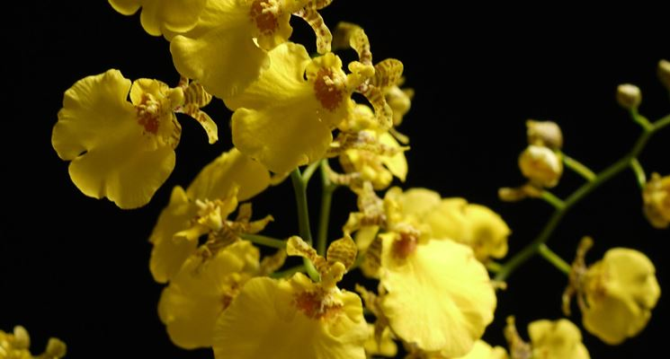 La morfologia delle orchidee oncidium