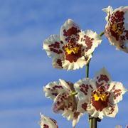 orchidea cambria