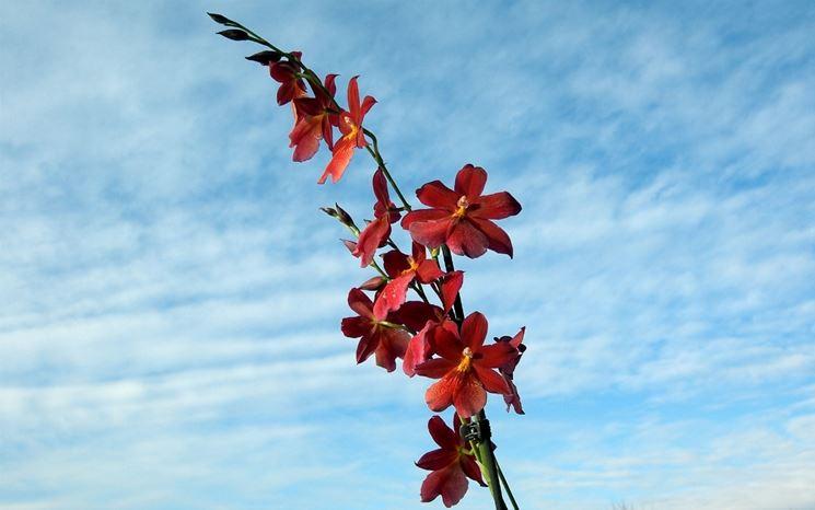orchidee cambria pianta