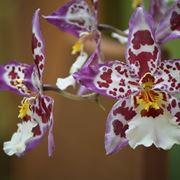 cambria orchidea