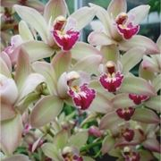 Orchidee Cymbidium bianche e rosa