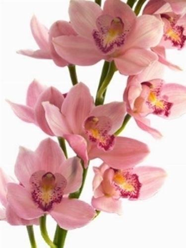 Orchidee Cymbidium rosa