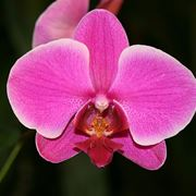 orchidee potatura