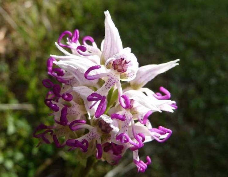 Gli errori per le orchidee selvatiche