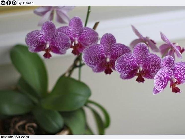 Peculiarità riproduzione orchidee