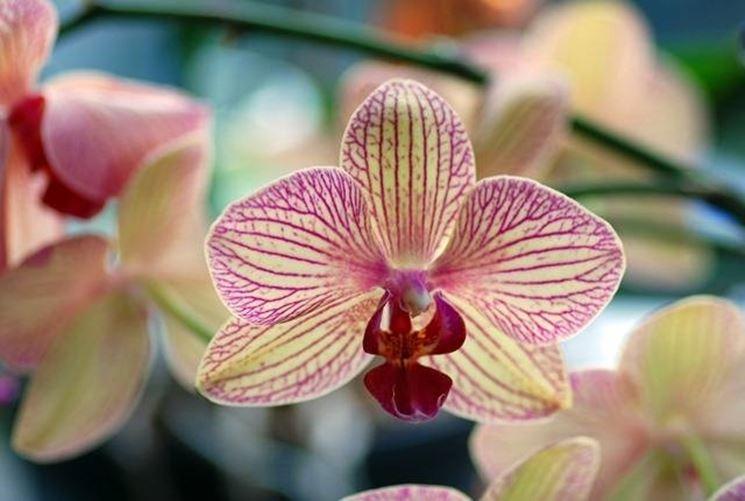 La morfologia delle orchidee