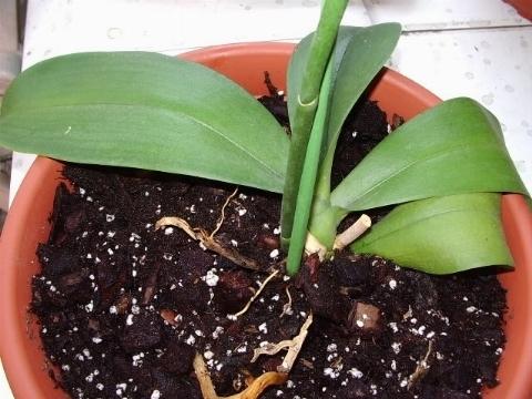 Terricci per orchidee orchidee scegliere il terriccio for Orchidee da esterno