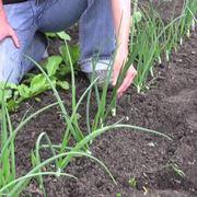 Coltivare cipolla da seme