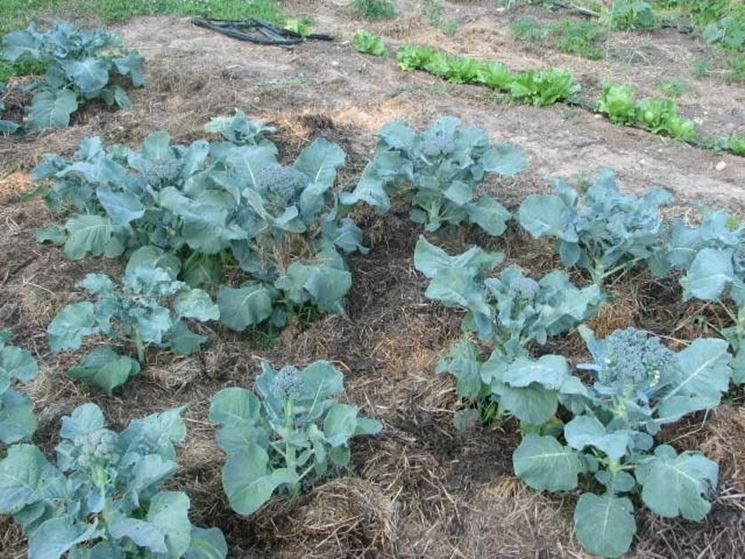 coltivazione broccoli