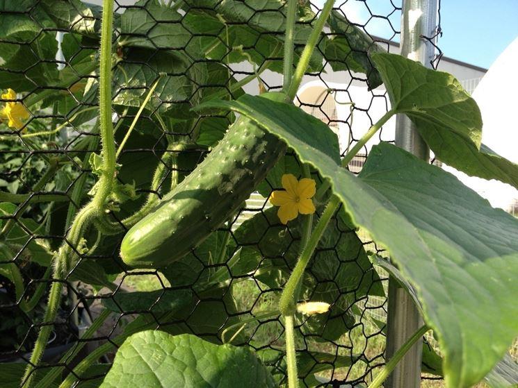 coltivazione cetrioli