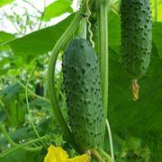pianta cetriolo