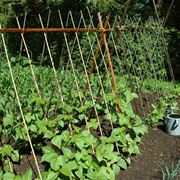 coltivare fagiolini