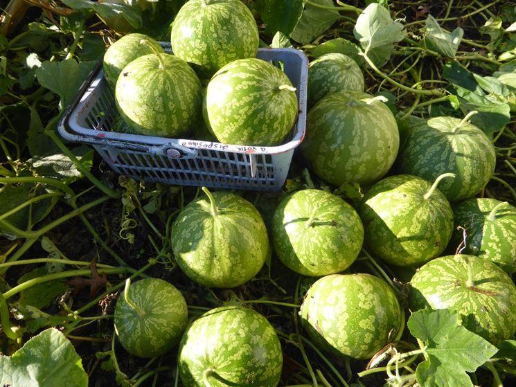 raccolta angurie