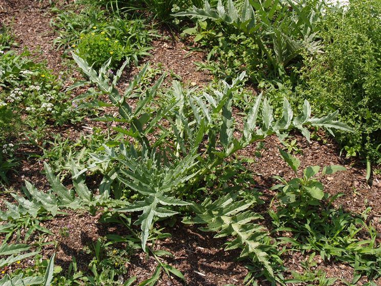 piantare i carciofi