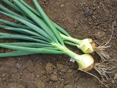 coltivazione delle cipolle
