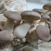 coltivazione funghi champignon