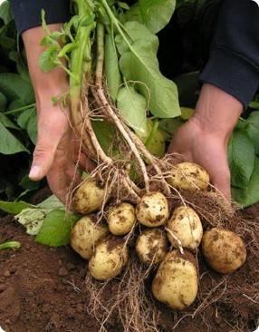 coltivazione patate orto
