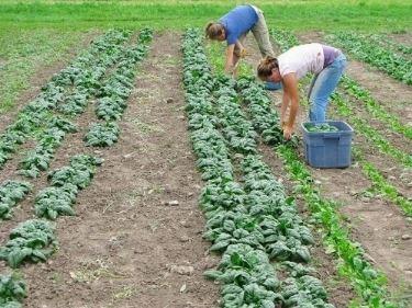 semina spinaci