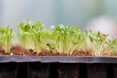 Coriandolo coltivazione