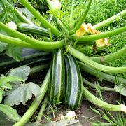 coltivare zucchine