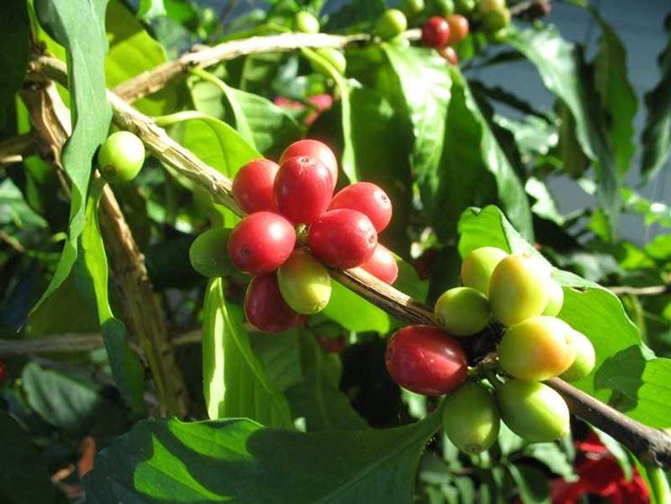 frutti coffea arabica