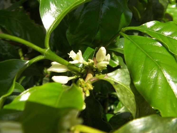 fiori coffea arabica