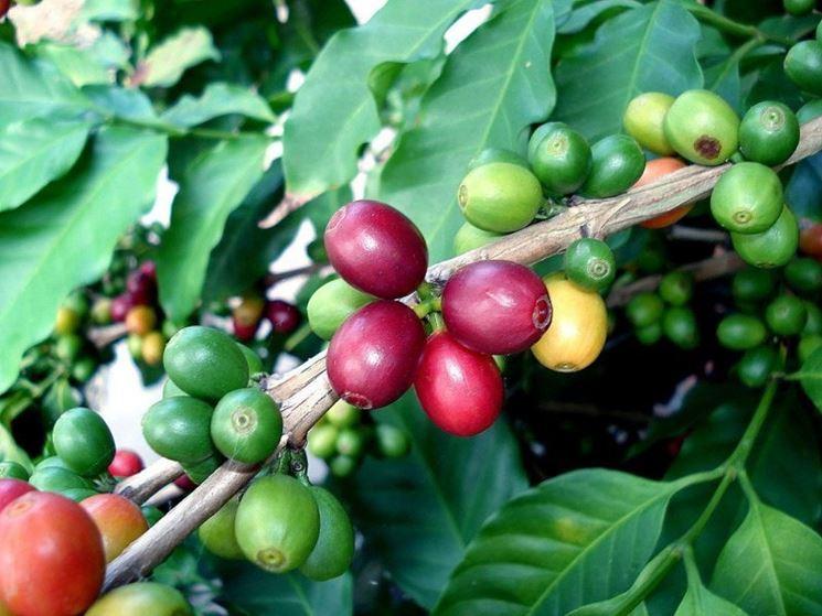 pianta coffea arabica