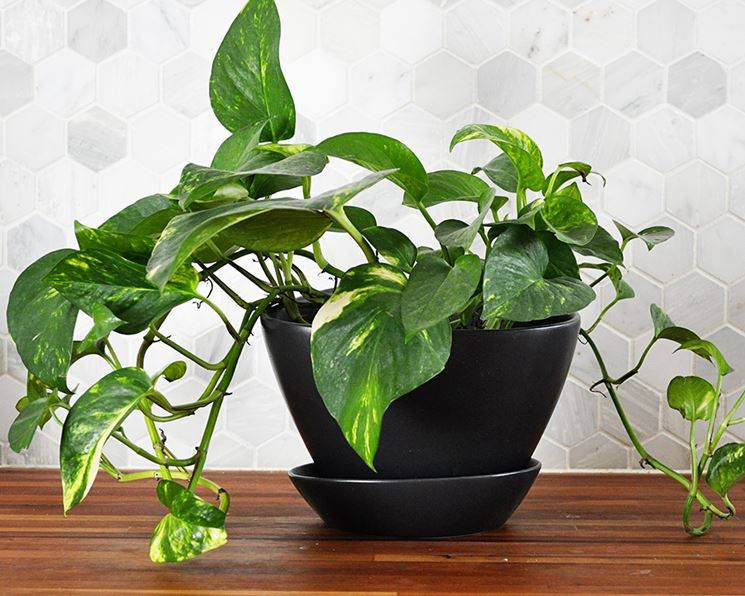 innaffiare e concimare la pianta di pothos