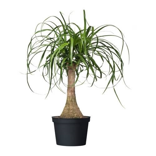 Come ottenere anche in appartamento piante da vaso for Piante da interno alte