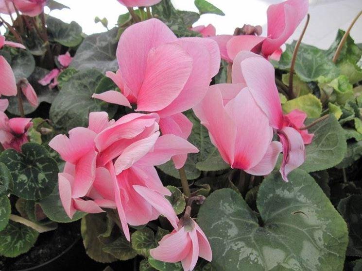 Fiori da vaso piante appartamento for Piante e fiori da appartamento