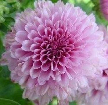 crisantemi per ridurre l'inquinamento