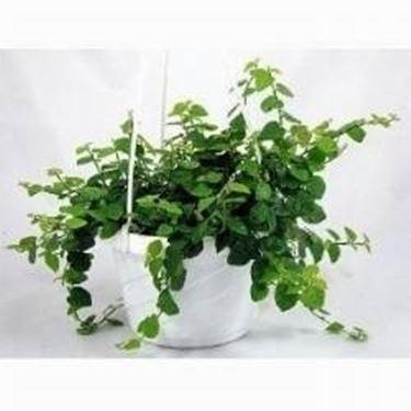Piante in bagno piante appartamento for Piante sempreverdi da appartamento