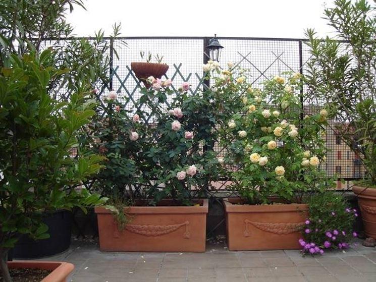 Radici all'ombra e rami al sole per avere un buon esito sul terrazzo di casa