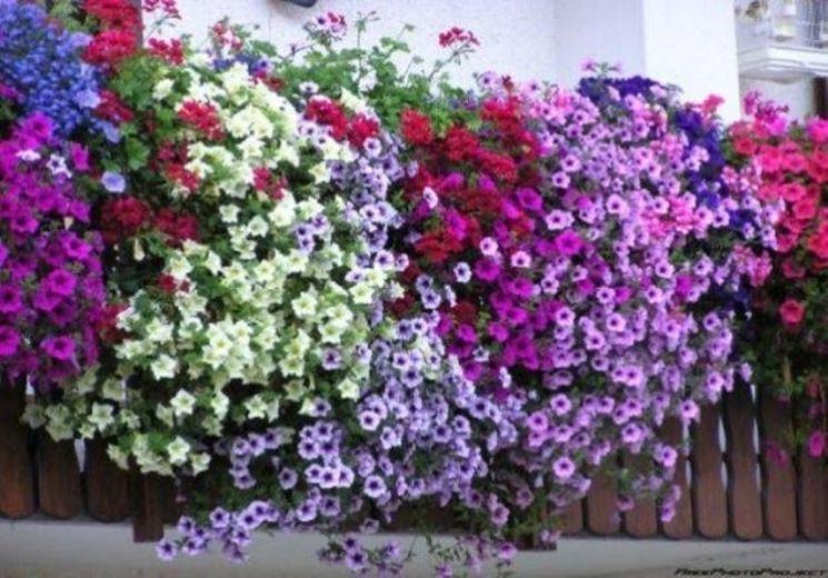 Rampicanti da balcone piante appartamento for Fiori da balcone perenni