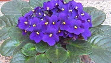 Violetta africana in casa
