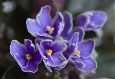 innaffiare la violetta africana
