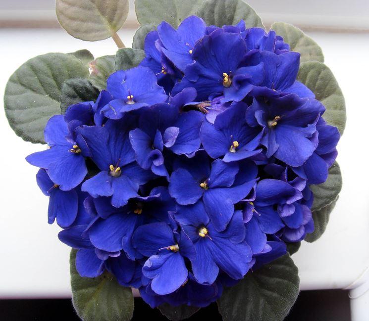 Violetta africana in casa piante appartamento for Piante e fiori da appartamento