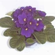 violetta pianta